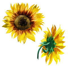 Watercolor illustration. Sunflowers. Front and back view.