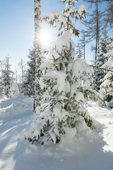 Winter forest with snow covered trees.