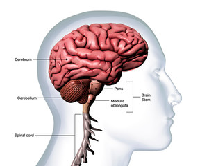 Profile of Man's Head with Brain Anatomy Labeled on White Background