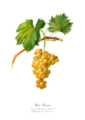 Branch of golden grape. Vintage art poster.
