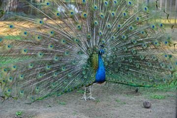 Peacock in his beautiful dress of colors
