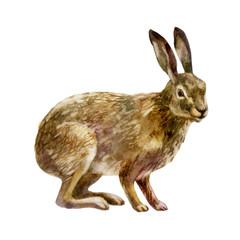 Watercolor illustration. Hare.