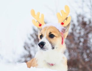 funny little red puppy of a corgi dog sits in a winter park in the snow dressed in soft Christmas reindeer