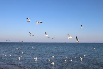 Seagulls in free flight 4