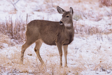 Wild Deer on the High Plains of Colorado