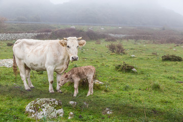White cow with calf in the mountains of Sardinia, Italy