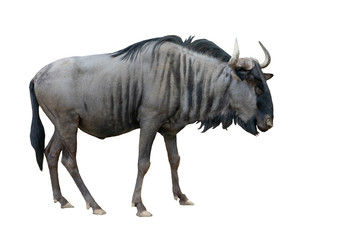 Poster Antilope wildebeest isolated on white background