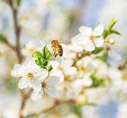 Spring Cherry Blossom Honey bee flowers.