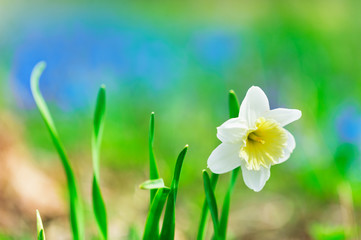 Daffodils in the meadow in springtime