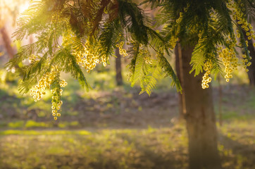 Mimosa au coucher du soleil.