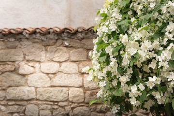 A blooming jasmine near the brick wall