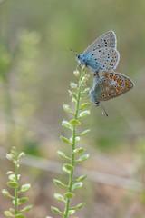 Lycaenidae / Çokgözlü Mavi / / Polyommatus icarus