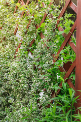 Euonymus fortunei Silver queen grow on a wooden fence