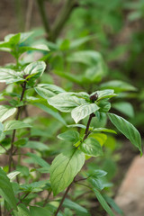 Basil plant with green leaves in a garden