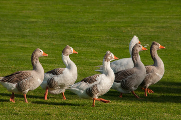 Ducks in their natural environment