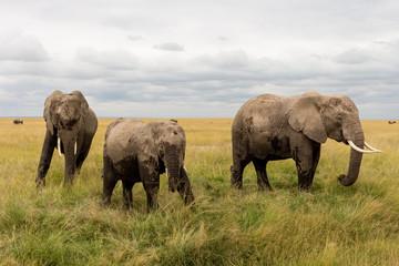 Wild Elephants in Kenya, Africa