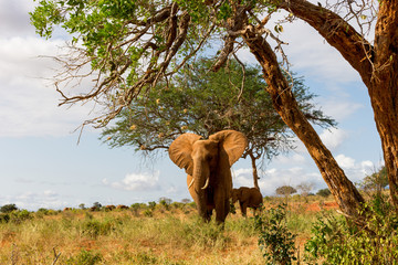 Wild Elephants in Kenya, Africa