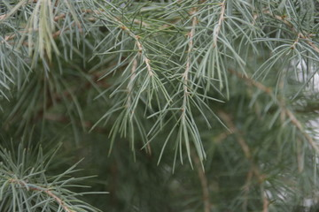 Green Pine Leaves in Winter Time