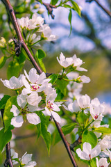 Apple tree branch with flowers against a blurred spring garden, spring card. Spring floral background with the colors of apple, cherry.