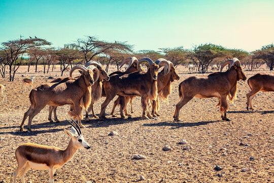 Group of Ovis ammon mountain sheep in a safari park on the island of Sir Bani Yas, United Arab Emirates