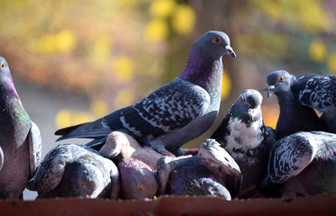 A pigeon walks over the heads of other pigeons.