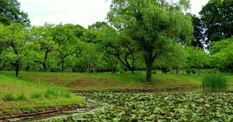 新緑 スイレン池 癒し 茨城