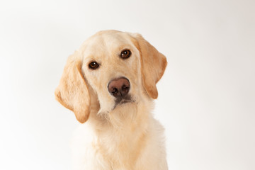 Portrait of yellow lab dog