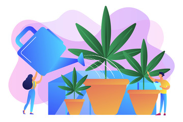 Farmers with watering can growing cannabis in pots. Cannabis cultivation, CBD cultivation business, sungrown indoors or greenhouse concept. Bright vibrant violet vector isolated illustration