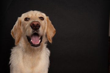 Yellow labradoodle isolated on dark background