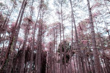 Pine tree in autumn.