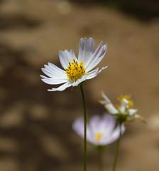 White Coreopsis Flower