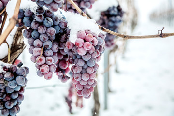Wall Murals Vineyard Ice wine. Wine red grapes for ice wine in winter condition and snow