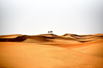 Camels in Al Bidayer Desert dunes, Dubai, United Arab Emirates