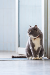 Cute British short-haired cat, indoor shooting