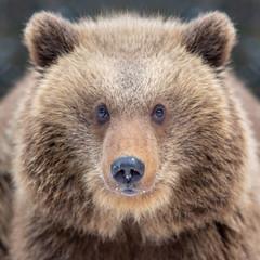 Close bear portrait