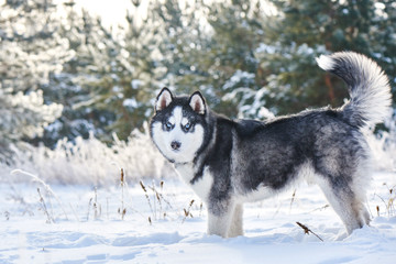 Siberian Husky dog playing in the winter snowy forest
