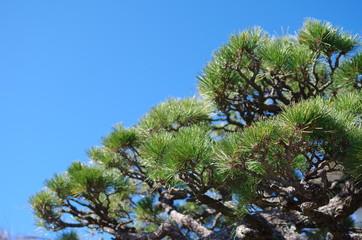 松の木と空