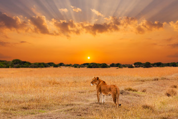 Lioness in the African savanna at sunset. Kenya