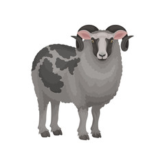 Detailed flat vector icon of male sheep. Ram with curved horns and gray woolly coat with black spots. Domestic animal