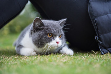 The English short-haired cat lies on the grass