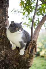 The English short-haired cat lies on a tree