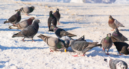 pigeons in the snow eat crumbs in the winter park
