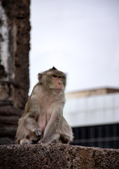 A mokey sit down and staring something forward. Or maybe it just posting for tourist to take a picture. In Prang Sam Yod, Lopburi