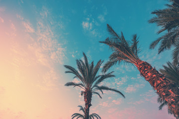 A row of tropical palm trees against a sunset sky. Silhouette of tall palm trees. Tropical evening landscape. Color gradient