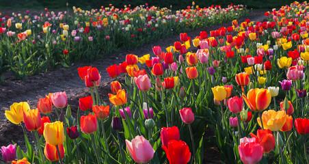 Fototapete - Feld mit bunten Tulpen im Gegenlicht