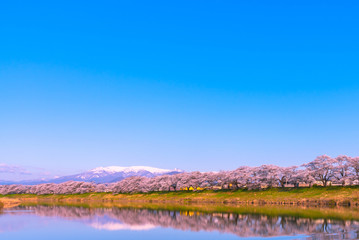 Shiroishi River 1000 Cherry Blossoms at a Glance ( Shiroishigawa-tsutsumi Hitome Senbonzakura )