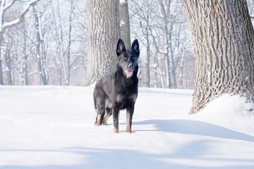 black German Shepherd in the winter forest.
