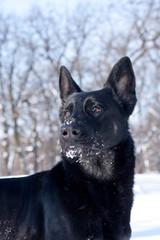 portrait  black German shepherd