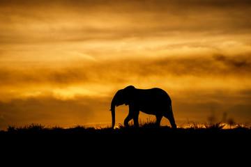 Wall Mural - Elephant at sunrise in Masai Mara, Kenya