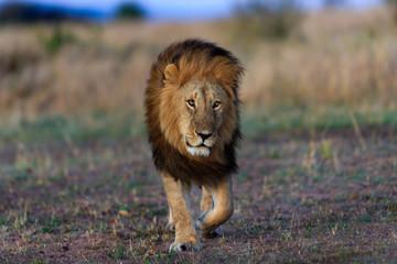 Wall Mural - Big Lion of Black Rock Pride walking in Masai Mara, Kenya